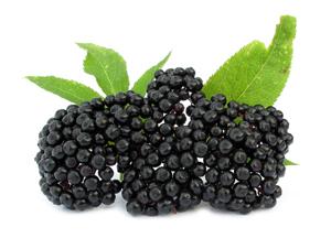 ягоды черной бузины
