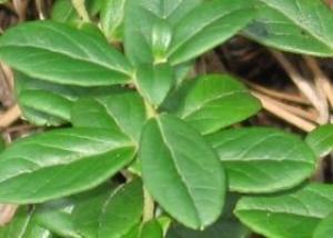 листья брусника полезные свойства