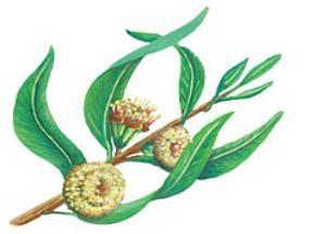 Лечебные свойства эвкалипта