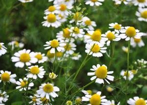 лечебные травы от заложенности носа