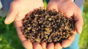 пчелиный подмор при болезнях суставов